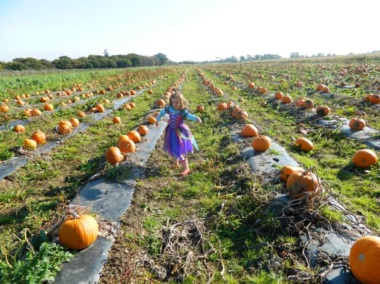 Pumpkins as far as the eye can see