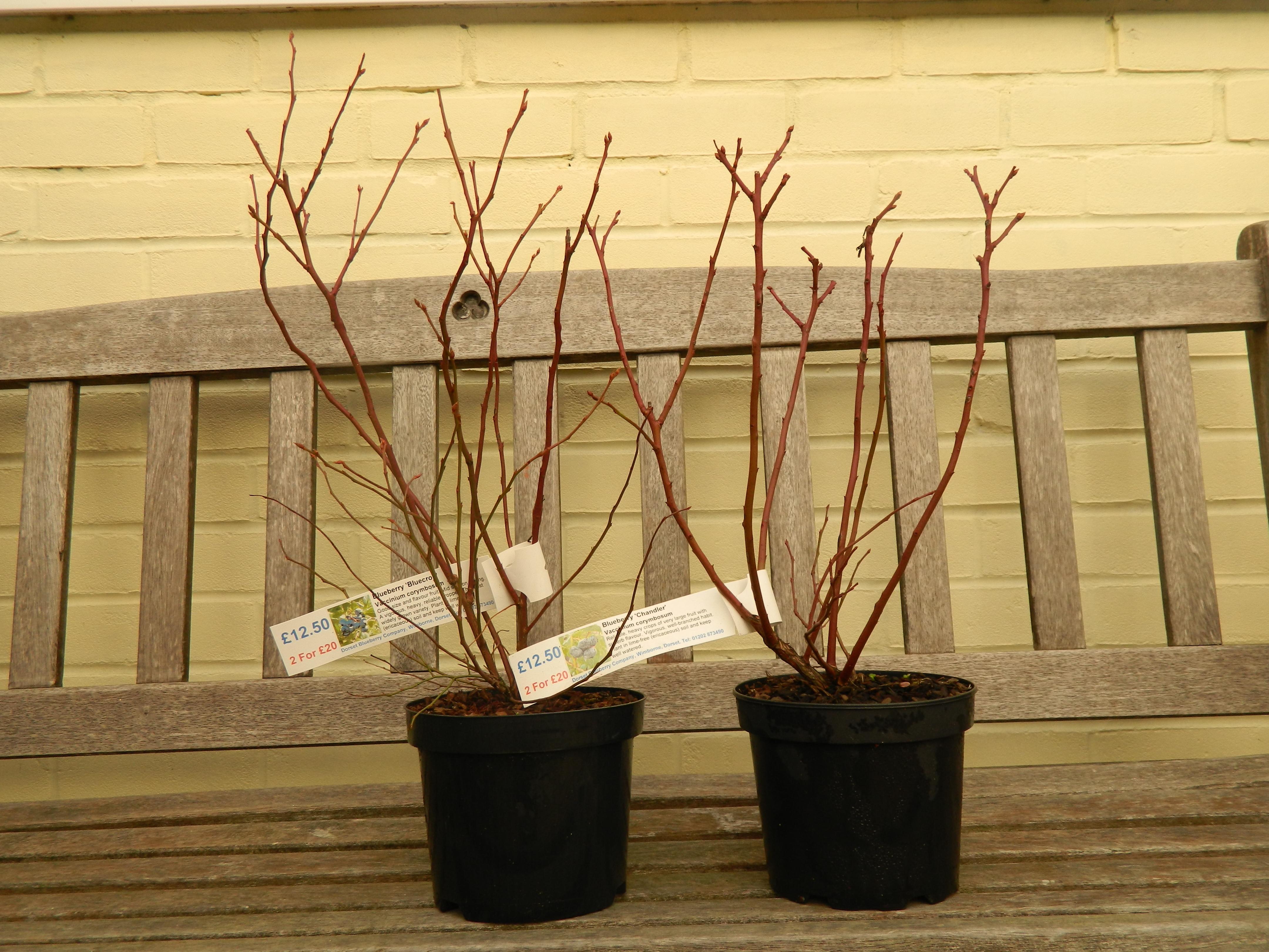 blueberry plant – Annie's Dorset Kitchen